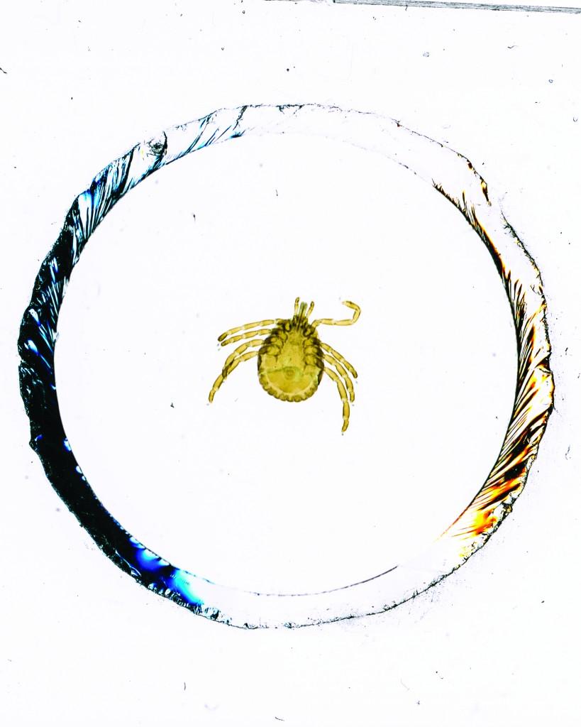 Amblyomma americanum