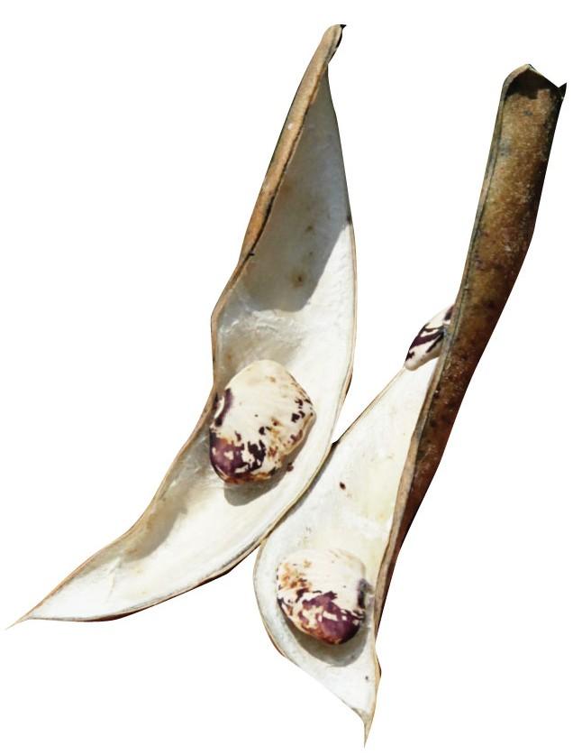 Haylene-Seeds
