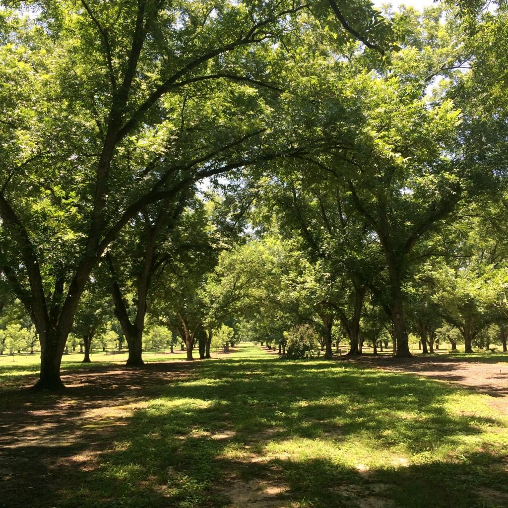 The pecan grove on the Resora Plantation.