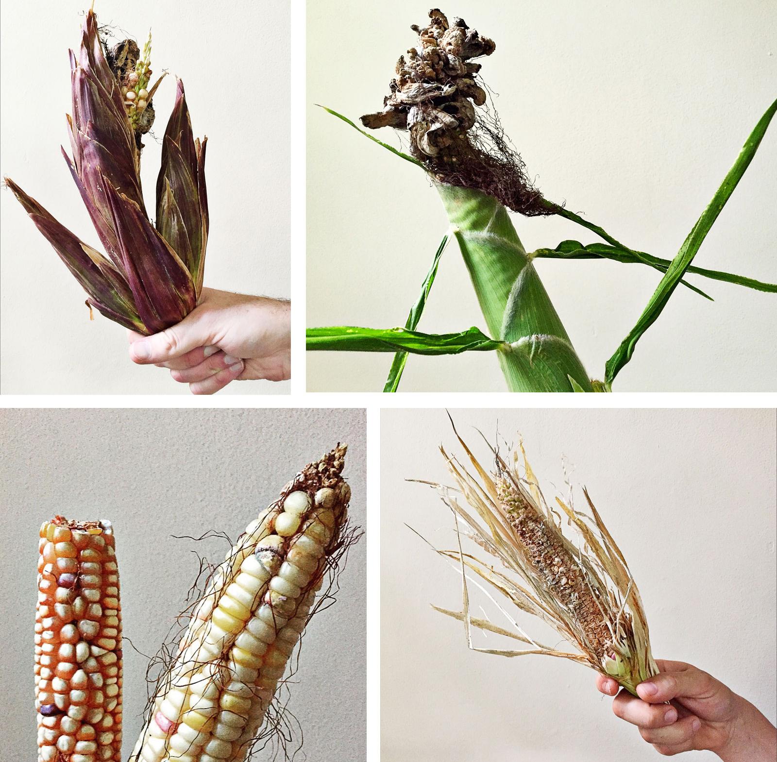 roofline-corn-by-kate-medley2